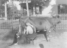Digital Photo of a Farmer Milking a Cow and Spraying Milk into a Cats Mouth #bgsNdfVVcHQ